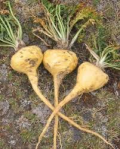 Maca Root Natural Form